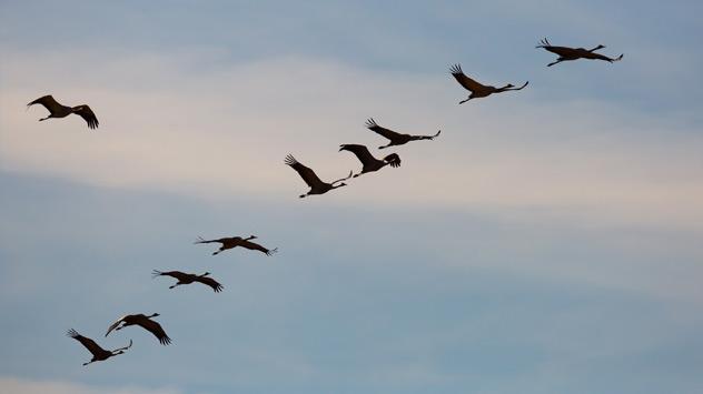 Kraniche fliegen in Formation