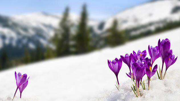 Krokusse blühen im Schnee