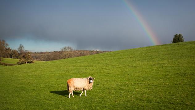 Ein Schaf steht auf einer Wiese vor einem Regenbogen am Himmel