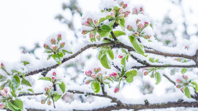 Blüten eines Baumes sind von Schnee bedeckt