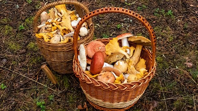 Zum Sammeln von Pilzen sind luftdurchlässige Körbe geeignet. In Plastiktüten können Pilze zu schnell faulen.